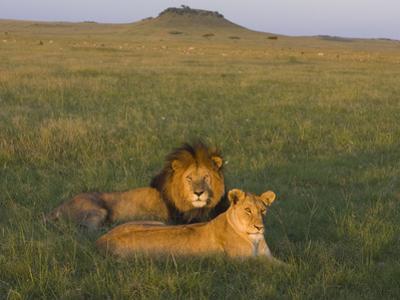 African Lion (Panthera Leo) Male and Female, Masai Mara, Kenya by Suzi Eszterhas/Minden Pictures