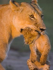 African Lion (Panthera Leo) Mother Carrying 5 to 6 Week Old Cub, Masai Mara Nat'l Reserve, Kenya by Suzi Eszterhas/Minden Pictures