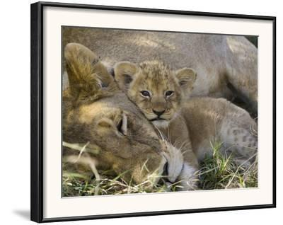 African Lion (Panthera Leo) Mother Resting with Cub, Vulnerable, Masai Mara Nat'l Reserve, Kenya by Suzi Eszterhas/Minden Pictures