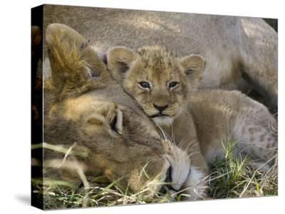 African Lion (Panthera Leo) Mother Resting with Cub, Vulnerable, Masai Mara Nat'l Reserve, Kenya