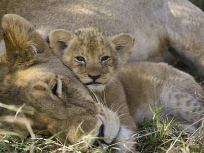 African Lion (Panthera Leo) Mother Resting with Cub, Vulnerable, Masai Mara Nat'l Reserve, Kenya