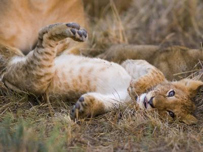 African Lion (Panthera Leo) Playful Cub Sprawling on Back, Masai Mara Nat'l Reserve, Kenya by Suzi Eszterhas/Minden Pictures