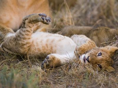 African Lion (Panthera Leo) Playful Cub Sprawling on Back, Masai Mara Nat'l Reserve, Kenya