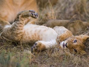 African Lion (Panthera Leo) Playful Cub Sprawling on Back, Masai Mara Nat'l Reserve, Kenya by Suzi Eszterhas/Minden Pictures