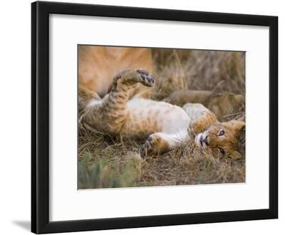 African Lion (Panthera Leo) Playful Cub Sprawling on Back, Masai Mara Nat'l Reserve, Kenya