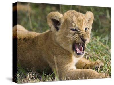 African Lion (PantheraLeo) 6 to 7 Week Old Cub Yawning, Vulnerable, Masai Mara Nat'l Reserve, Kenya