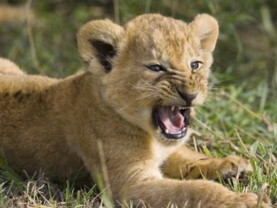 African Lion (PantheraLeo) 6 to 7 Week Old Cub Yawning, Vulnerable, Masai Mara Nat'l Reserve, Kenya by Suzi Eszterhas/Minden Pictures