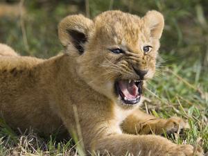 African Lion (PantheraLeo) 6 to 7 Week Old Cub Yawning, Vulnerable, Masai Mara Nat'l Reserve, Kenya by Suzi Eszterhas/Minden Pictures