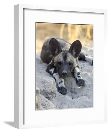 African Wild Dog (Lycaon Pictus) Six to Eight Week Old Pup, Okavango Delta, Botswana