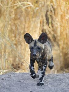 African Wild Dog (Lycaon Pictus) Six to Eight Week Old Pup Running, Okavango Delta, Botswana by Suzi Eszterhas/Minden Pictures