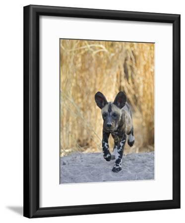 African Wild Dog (Lycaon Pictus) Six to Eight Week Old Pup Running, Okavango Delta, Botswana