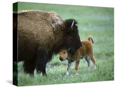 American Bison (Bison Bison) Female and Calf, Yellowstone Nat'l Park, Montana