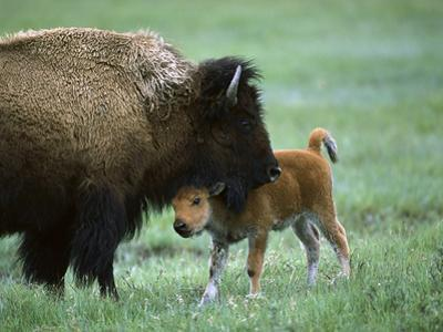 American Bison (Bison Bison) Female and Calf, Yellowstone Nat'l Park, Montana by Suzi Eszterhas/Minden Pictures