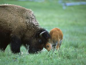 American Bison (Bison Bison) Female Playing with Calf, Yellowstone Nat'l Park, Montana by Suzi Eszterhas/Minden Pictures