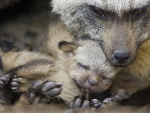 Bat-Eared Fox (Otocyon Megalotis) with Thirteen Day Old Pup, Masai Mara, Kenya by Suzi Eszterhas/Minden Pictures