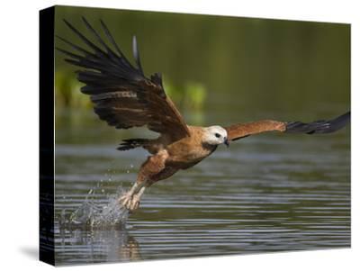 Black-Collared Hawk (Busarellus Nigricollis) Fishing, Pantanal, Brazil