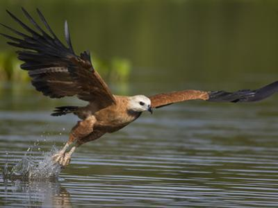 Black-Collared Hawk (Busarellus Nigricollis) Fishing, Pantanal, Brazil by Suzi Eszterhas/Minden Pictures