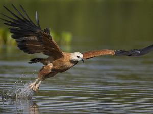 Black-Collared Hawk (Busarellus Nigricollis) Fishing, Pantanal, Brazil by Suzi Eszterhas/Minden Pictures