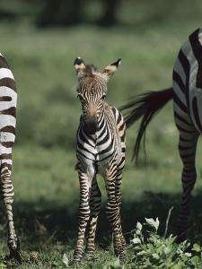 Burchell's Zebra (Equus Burchellii) Foal, Ngorongoro Conservation Area, Tanzania, East Africa by Suzi Eszterhas/Minden Pictures