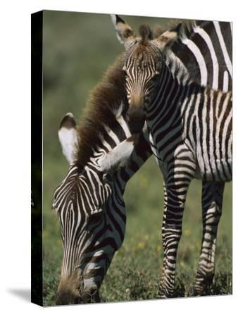 Burchell's Zebra (Equus Burchellii) Foal with Mother, Ngorongoro Conservation Area, Tanzania by Suzi Eszterhas/Minden Pictures