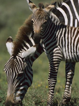 Burchell's Zebra (Equus Burchellii) Foal with Mother, Ngorongoro Conservation Area, Tanzania