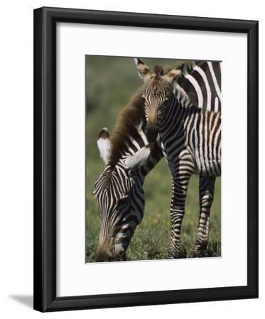 Burchell's Zebra (Equus Burchellii) Foal with Mother, Ngorongoro Conservation Area, Tanzania