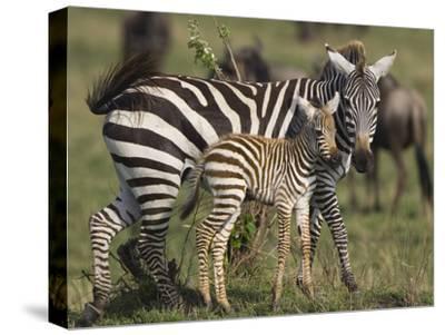 Burchell's Zebra (Equus Burchellii) Mother and Foal, Masai Mara, Kenya