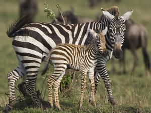 Burchell's Zebra (Equus Burchellii) Mother and Foal, Masai Mara, Kenya by Suzi Eszterhas/Minden Pictures