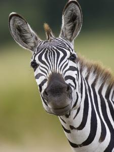 Burchell's Zebra (Equus Burchellii) Portrait, Masai Mara, Kenya by Suzi Eszterhas/Minden Pictures