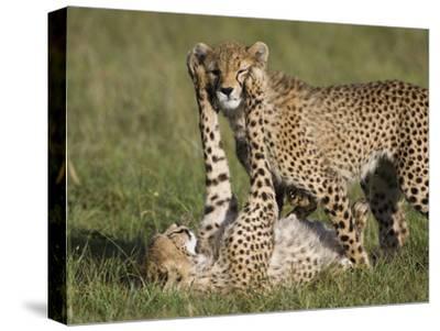 Cheetah (Acinonyx Jubatus) 7 to 9 Month Old Cubs Playing, Masai Mara Nat'l Reserve, Kenya