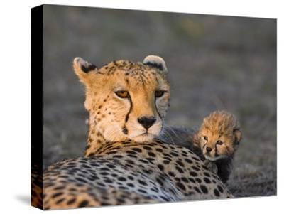 Cheetah (Acinonyx Jubatus) 8 Day Old Cub Climbing on Mother at Sunrise, Maasai Mara Reserve, Kenya