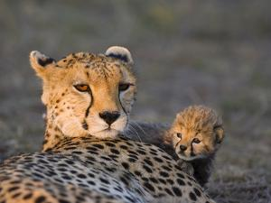 Cheetah (Acinonyx Jubatus) 8 Day Old Cub Climbing on Mother at Sunrise, Maasai Mara Reserve, Kenya by Suzi Eszterhas/Minden Pictures
