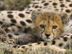 Cheetah (Acinonyx Jubatus) Cub Portrait, Maasai Mara Reserve, Kenya by Suzi Eszterhas/Minden Pictures