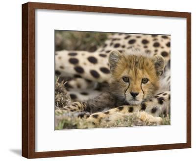Cheetah (Acinonyx Jubatus) Cub Portrait, Maasai Mara Reserve, Kenya