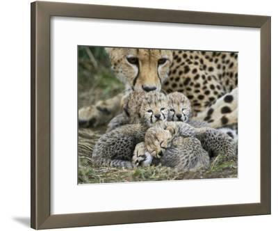 Cheetah (Acinonyx Jubatus) Cubs Curled Up Together in Nest, Maasai Mara Reserve, Kenya