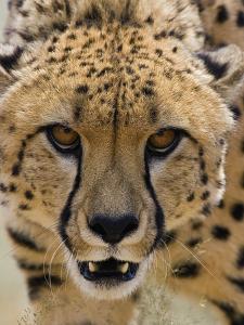 Cheetah (Acinonyx Jubatus) Defensive Behavior, Cheetah Conservation Fund, Otijwarongo, Namibia by Suzi Eszterhas/Minden Pictures