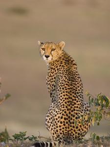 Cheetah (Acinonyx Jubatus) Female, Maasai Mara Reserve, Kenya by Suzi Eszterhas/Minden Pictures