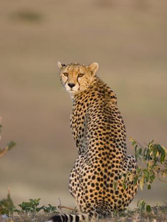 Cheetah (Acinonyx Jubatus) Female, Maasai Mara Reserve, Kenya