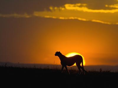 Cheetah (Acinonyx Jubatus) Female Silhouetted at Sunset, Maasai Mara Reserve, Kenya by Suzi Eszterhas/Minden Pictures