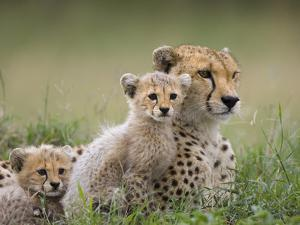 Cheetah (Acinonyx Jubatus) Mother and Eight to Nine Week Old Cubs, Maasai Mara Reserve, Kenya by Suzi Eszterhas/Minden Pictures