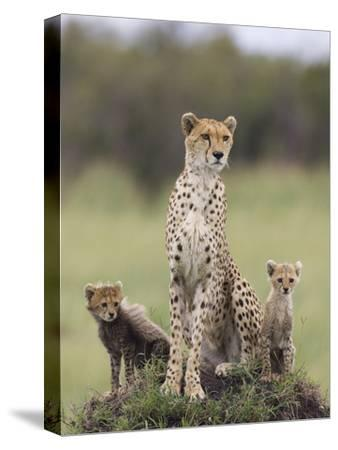 Cheetah (Acinonyx Jubatus) Mother and Eight to Nine Week Old Cubs, Maasai Mara Reserve, Kenya