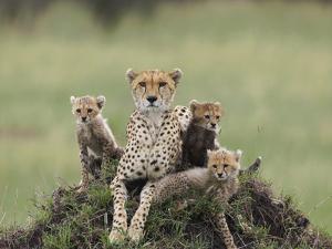 Cheetah (Acinonyx Jubatus) Mother and Eight to Nine Week Old Cubs, Maasai Mara Reserve, Kenya by Suzi Eszterhas/Minden Pictures