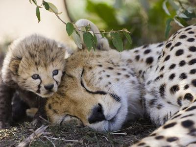 Cheetah (Acinonyx Jubatus) Mother and Seven Day Old Cub, Maasai Mara Reserve, Kenya