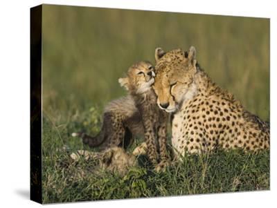 Cheetah (Acinonyx Jubatus) Mother Interacting with 8 to 9 Week Old Cubs, Maasai Mara Reserve, Kenya