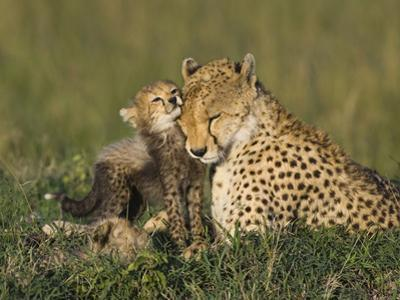 Cheetah (Acinonyx Jubatus) Mother Interacting with 8 to 9 Week Old Cubs, Maasai Mara Reserve, Kenya by Suzi Eszterhas/Minden Pictures