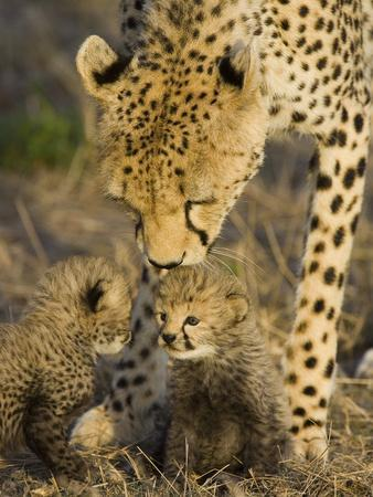 Cheetah (Acinonyx Jubatus) Mother Nuzzles Seven Day Old Cubs, Maasai Mara Reserve, Kenya