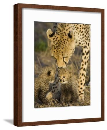 Cheetah (Acinonyx Jubatus) Mother Nuzzles Seven Day Old Cubs, Maasai Mara Reserve, Kenya