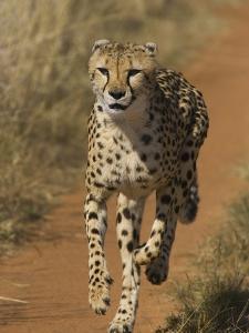 Cheetah (Acinonyx Jubatus) Rescued from Trap on Livestock Farm, Cheetah Conservation Fund, Namibia by Suzi Eszterhas/Minden Pictures