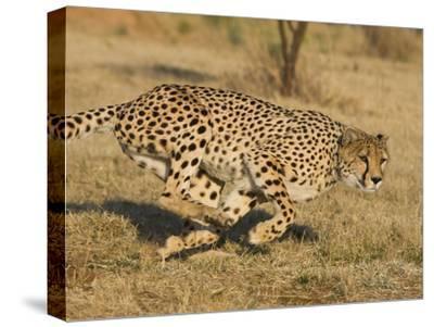 Cheetah (Acinonyx Jubatus) Running, Cheetah Conservation Fund, Namibia