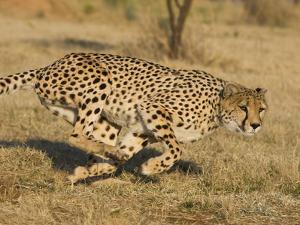 Cheetah (Acinonyx Jubatus) Running, Cheetah Conservation Fund, Namibia by Suzi Eszterhas/Minden Pictures